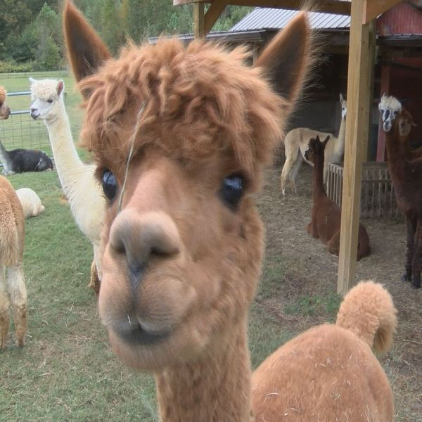 ALPACA FARM DAYS_51493