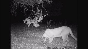 cougar_79159