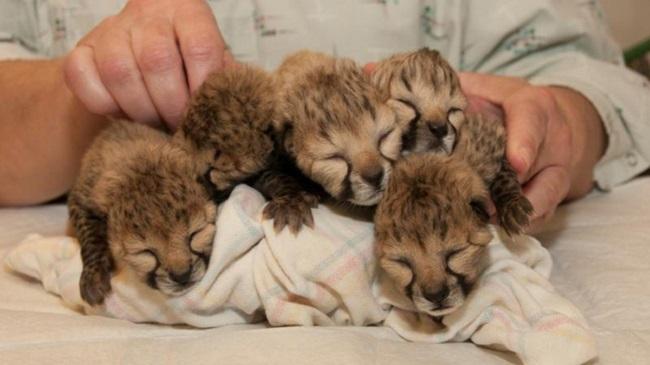 Cheetahs_127519