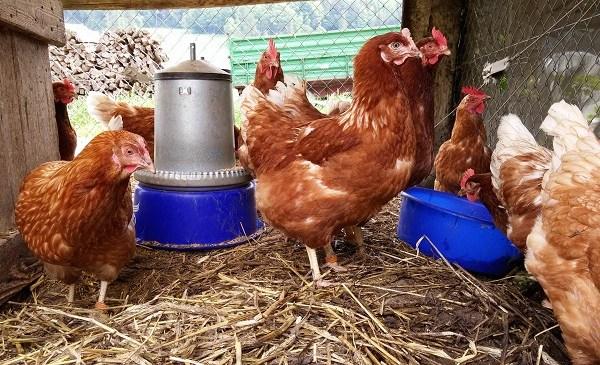 Chicken_26462