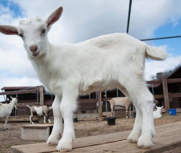 goat2_127854