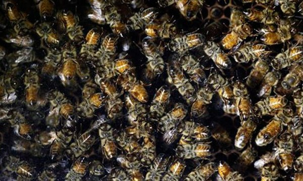 bees_193289