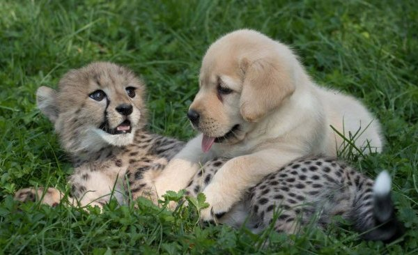 cheetah-ad-puppy_205672