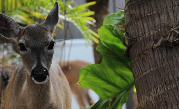 deer_226726