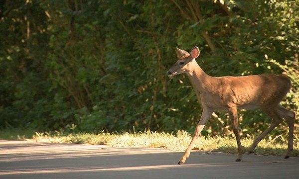 deer_237739
