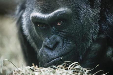 gorilla-birthday_252162