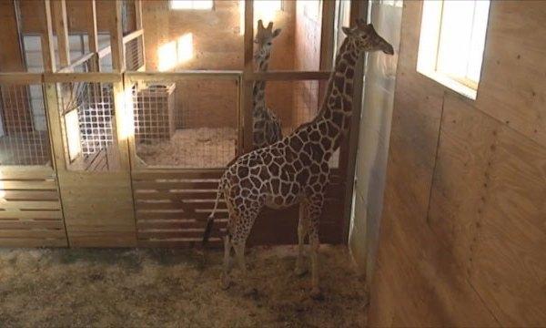 April the Giraffe_285570