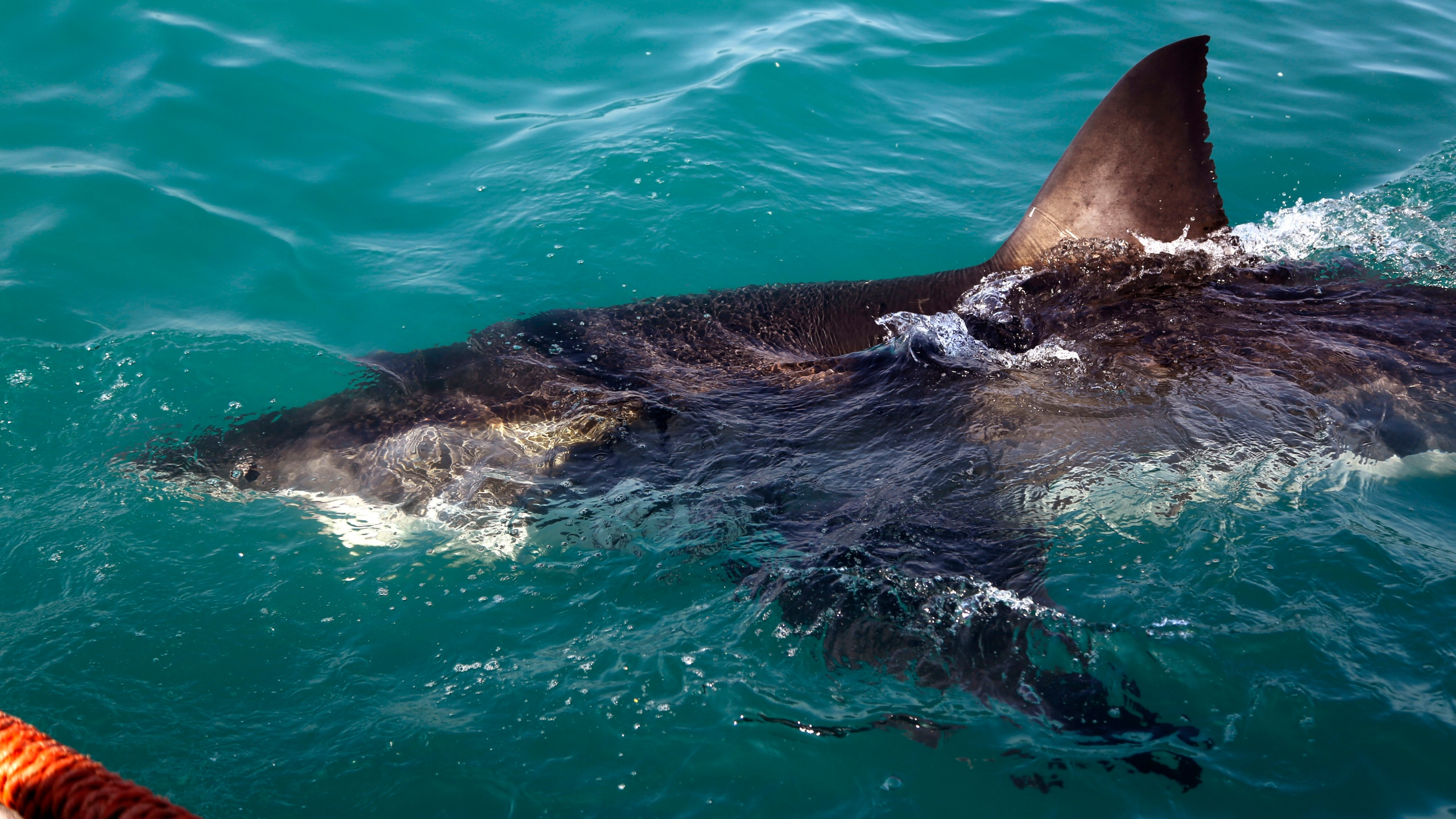 South Africa Great White Sharks_299404