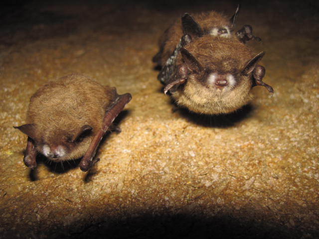 tri-colored-bat-with-wns_2013 (1)_305268
