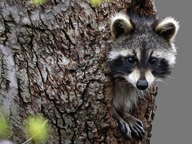 APTOPIX Raccoon Home_215780