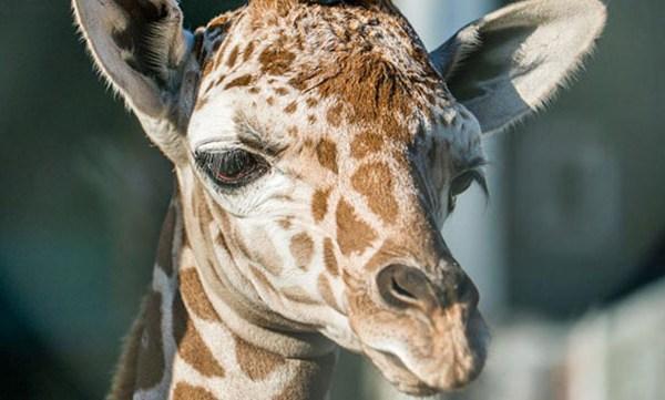 giraffe 3_441670