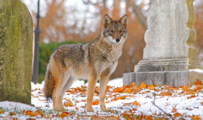 coyote_439310