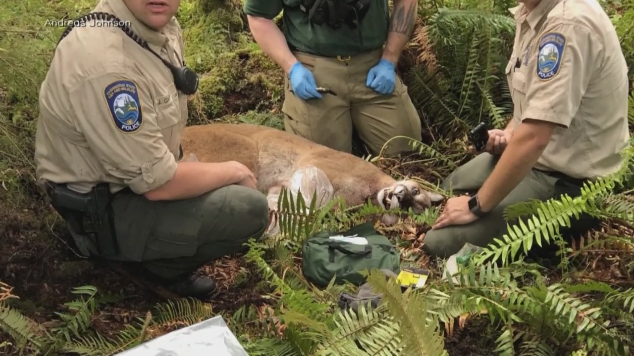 1 dead, 1 injured after mountain lion attack on mountain bikers in Washington state