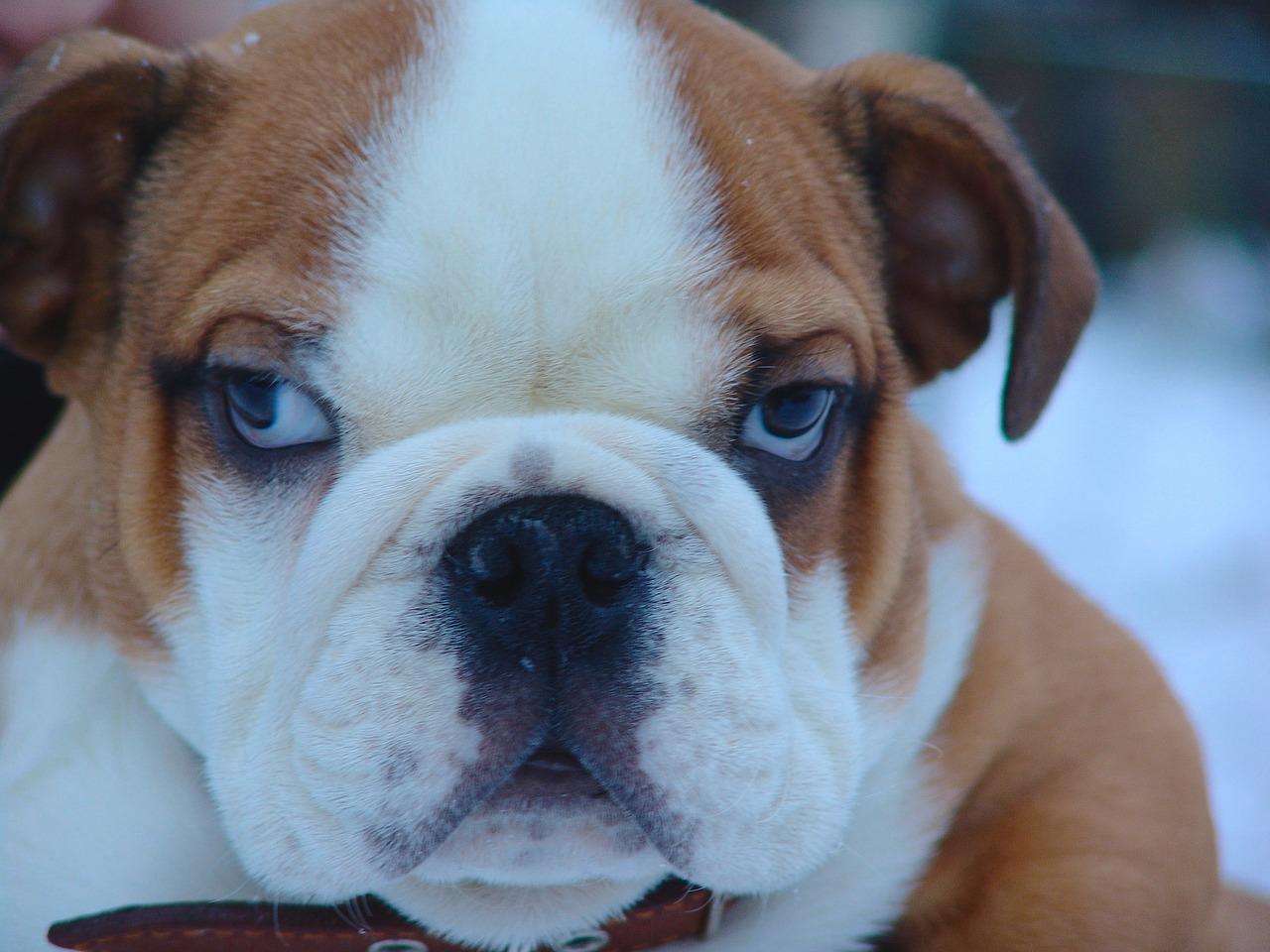 english bulldog-2074523_1280_1537816008777.jpg.jpg