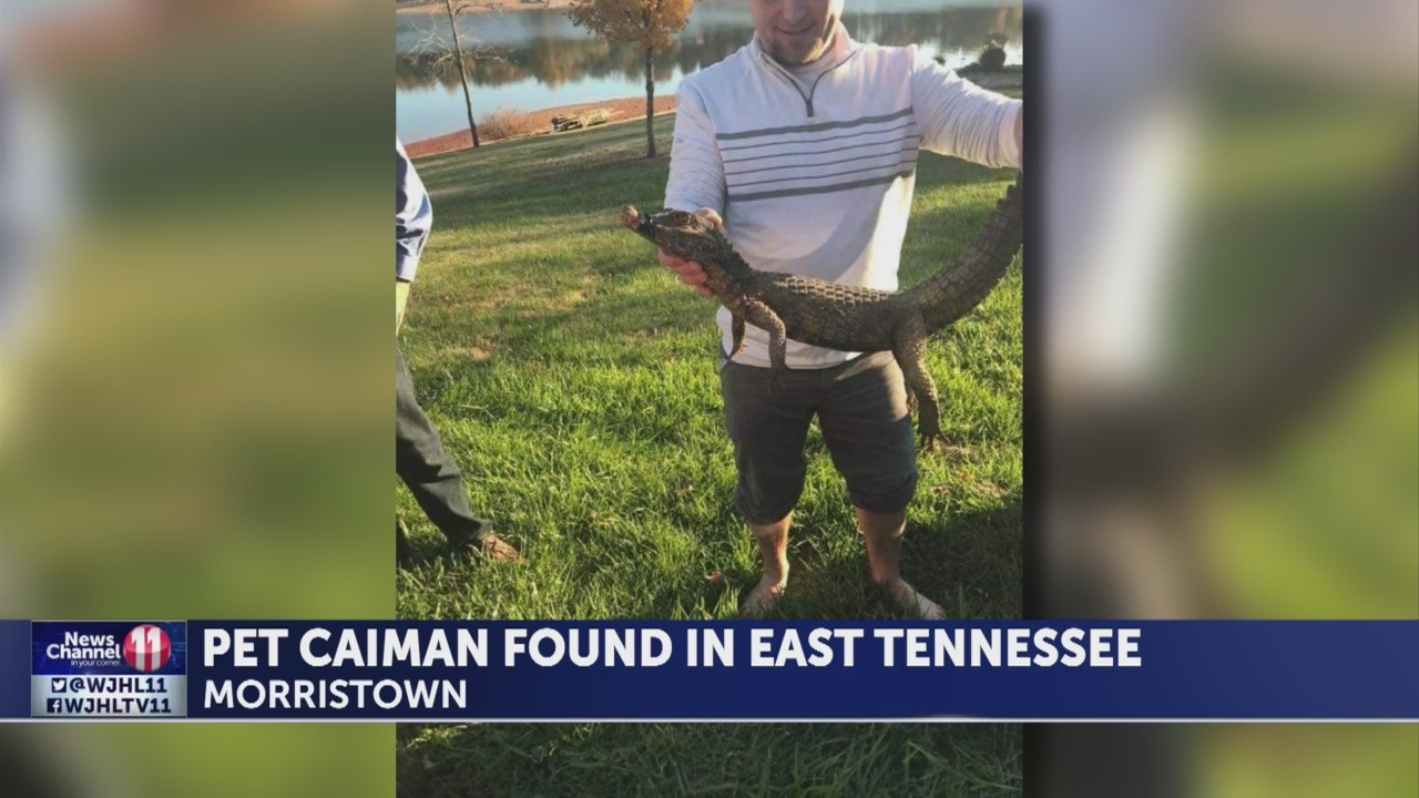 Caiman_discovered_in_Morristown_0_20181123161816