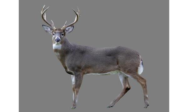 deer_1544913980299.jpg
