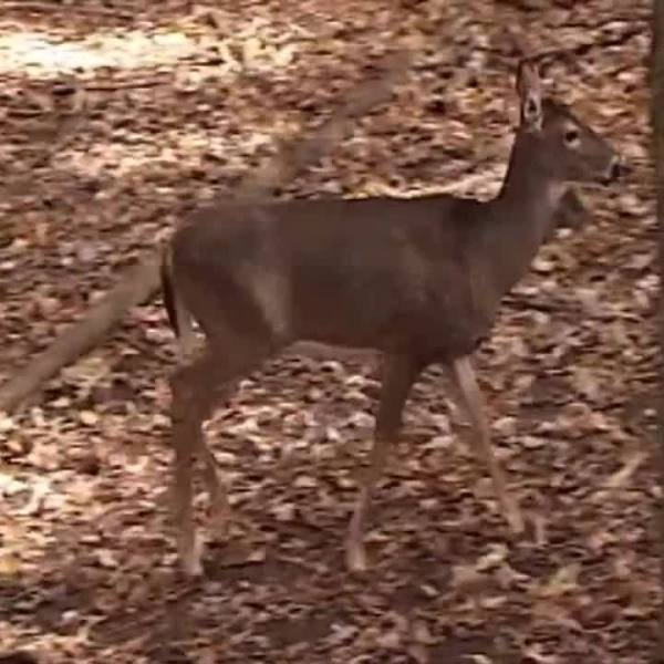 CWD_affecting_Tennessee_deer_6_20181220210342