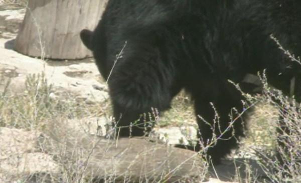 nmsu-conducts-black-bear-study_171044