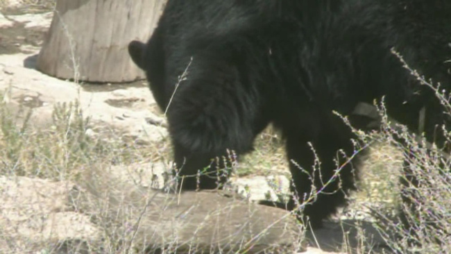 nmsu-conducts-black-bear-study_171044