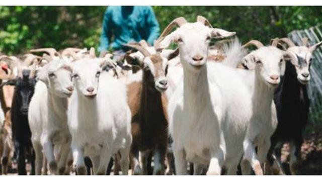 goats_1556113764308.JPG