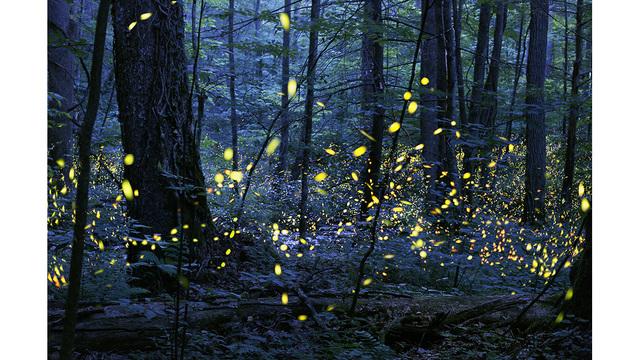 synchronous_fireflies_elkmont_photo-credit-radim-schreiber-1_25060562_ver1.0_640_360_1556285250014.jpg