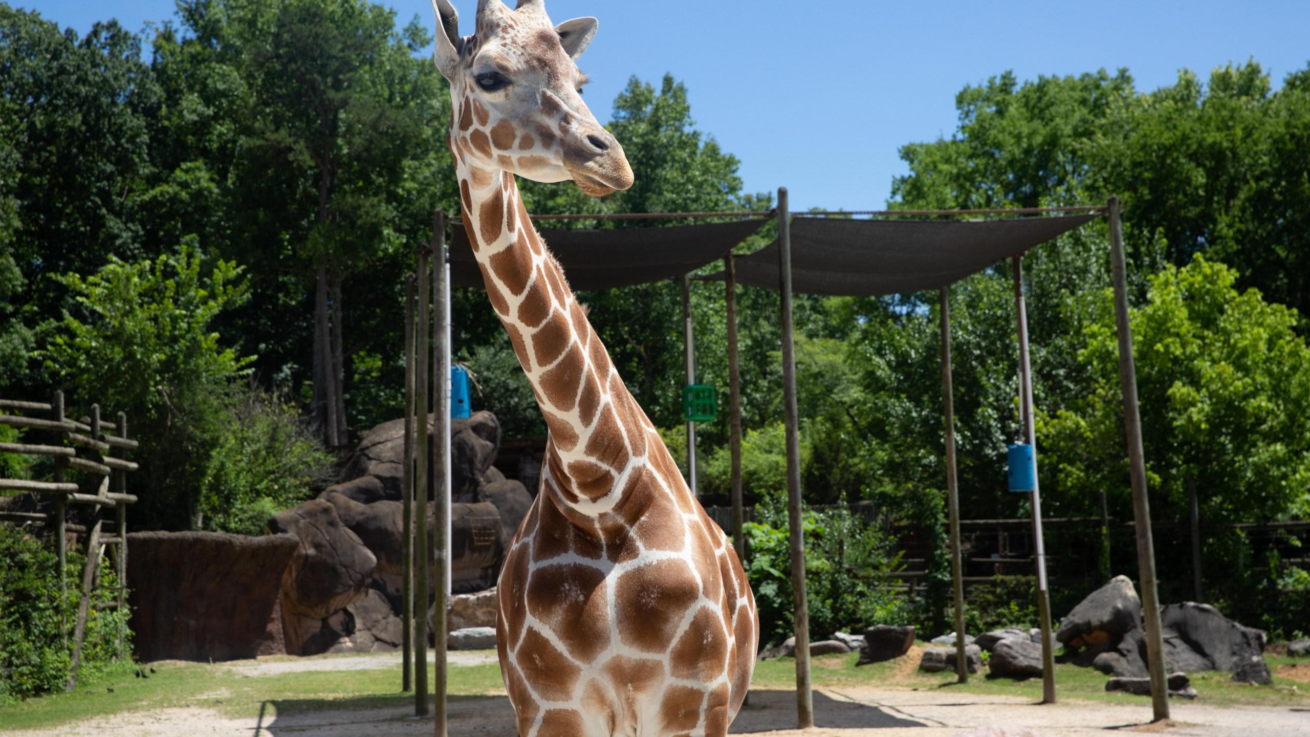 061419_Frances_giraffe4_1561131319667.jpg