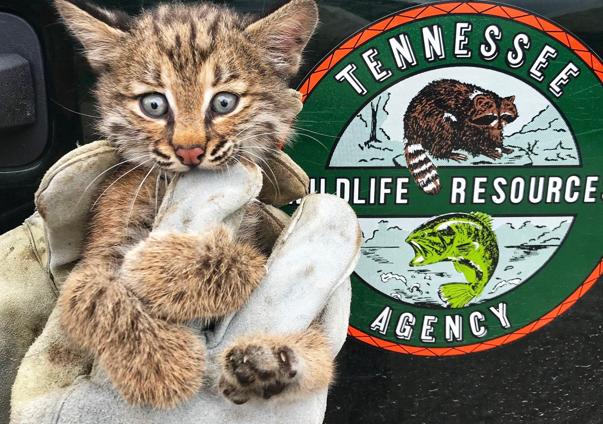 twra bobcat kitten_1560266900281.jpg.jpg