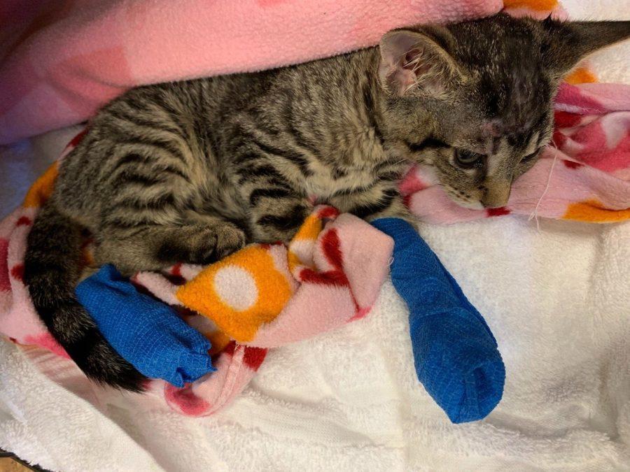 Veterinarian: Cat at center of Carter Co  animal cruelty case had