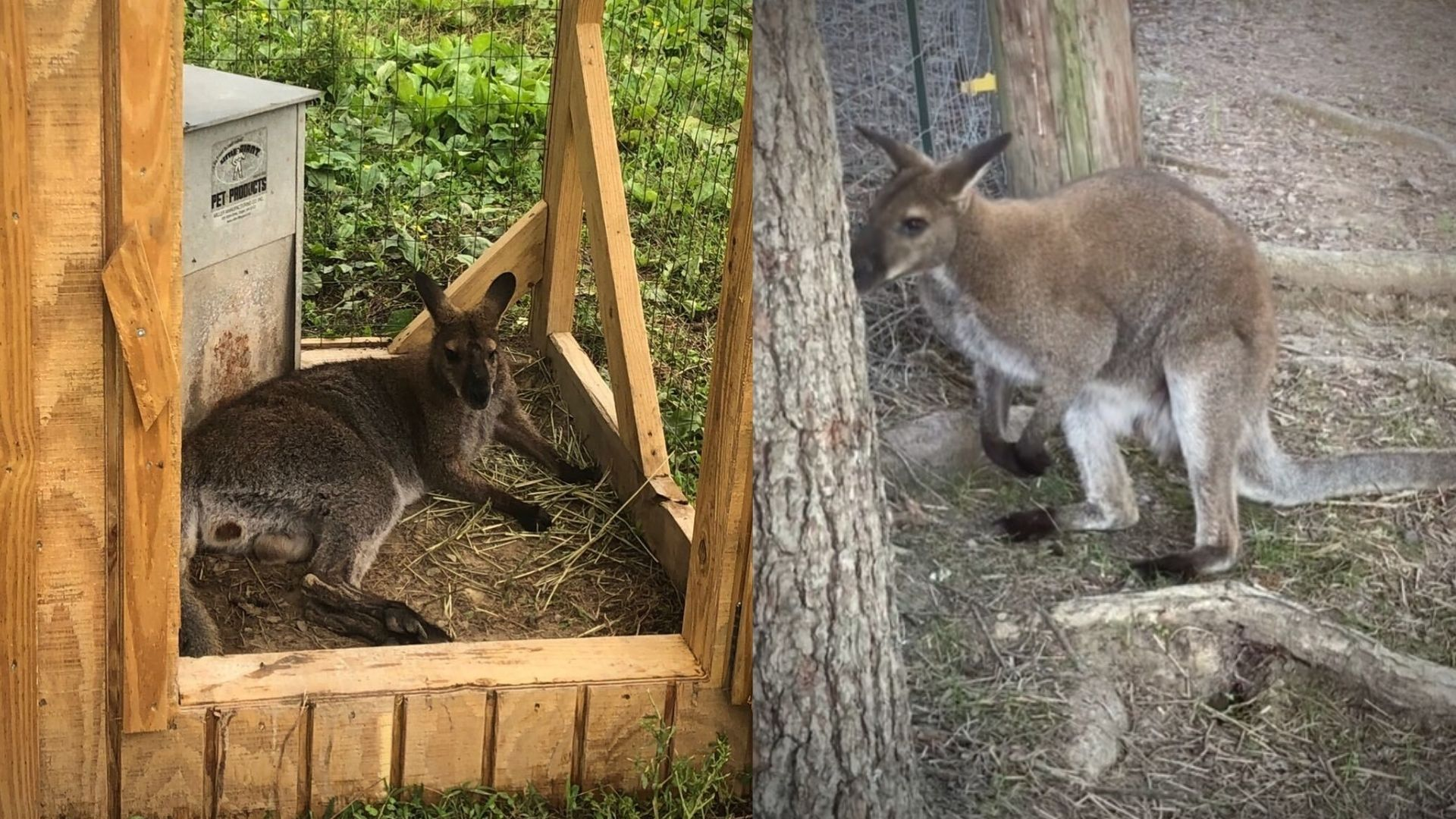 Update Missing Wallaby Wally Found Safe Wjhl Tri Cities News Weather